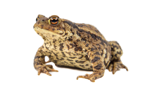 bufo toad: European common toad (Bufo bufo) isolated on white background