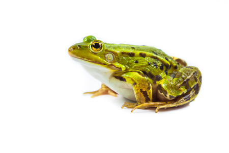frog green: Beautiful and strong Pool frog male (Pelophylax lessonae) isolated on white background Stock Photo