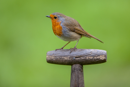 rubecula: Red robin (Erithacus rubecula) perched on the handle of a shovel. This bird is a regular companion during gardening pursuits