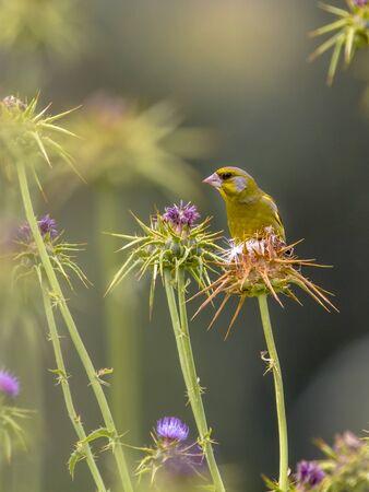 greenfinch: Greenfinch (Chloris carduelis) on milk thistle (Silybum marianum)