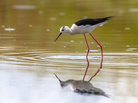 himantopus: Foraging black-winged stilt, common stilt, or pied stilt (Himantopus himantopus), a very long legged wader bird, in shallow water