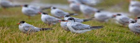 returning: Group of Common tern (Sterna hirundo) in the rain Stock Photo