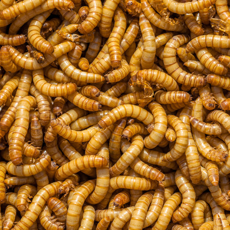 the larvae: Square Background of many living Mealworm larvae suitable as Food