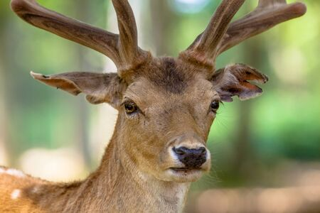 fallow deer: Close up portrait of a male Fallow Deer (Dama dama) in the forest