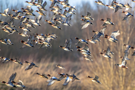 Migrating ducks are leaving for the southern hibernating areas in autumn and winter. 스톡 콘텐츠