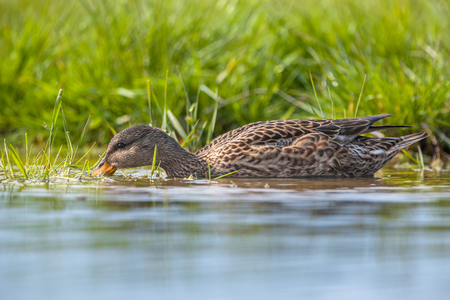 wetland conservation: Female Gadwall (mareca strepera) feeding on water vegetation in a wetland nature reserve conservation area Stock Photo