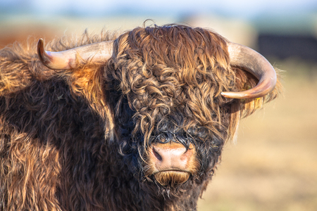 highland: Funny looking asymmetrical horns on a Highland cattle calf in the Lauwersmeer National Park in the Netherlands