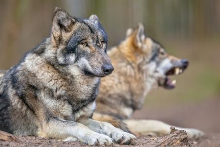 큰 먹이 사냥에 그것의 형태 학적 적응, 그것의 더 gregaus 자연과 고도의 표현 행동에 의해 입증으로 유라시아 회색 늑대 (큰 개자리 lupus 루푸스)는 속