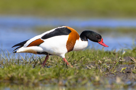 waterfowl: Male Common shelduck walking on mudflat. Tadorna tadorna is a waterfowl species and widespread in Europe and Asia.