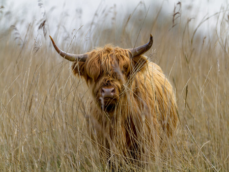 herbivores: Highland cattle calf in a field of Reed in the Lauwersmeer National Park, Netherlands. These are the largest herbivores in the local ecosystem.