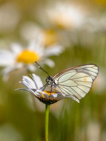 oxeye: Black-veined White (Aporia crataegi) resting on Oxeye daisy (Leucanthemum vulgare) in the morning sun