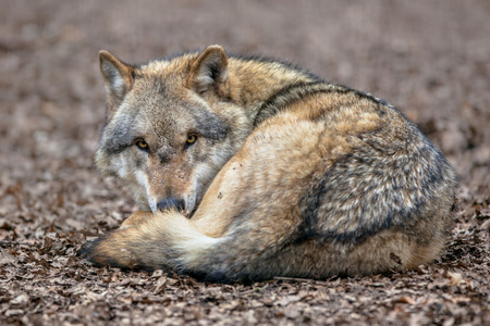 canis: Eurasian Gray Wolf (Canis lupus lupus) lying in the leaf litter. It is the most specialised member of the genus Canis, as demonstrated by its morphological adaptations to hunting large prey, its more gregarious nature, and its highly advanced expressive b Stock Photo