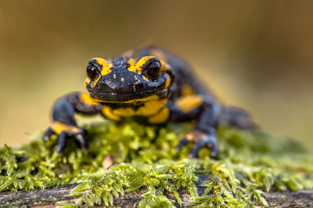 central european: The threatened Fire salamander (Salamandre salamandre) lives in central European deciduous forests and are more common in hilly areas.