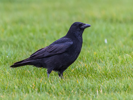 untrustworthy: Black Crow (Corvus corone) standing on green field looking in camera