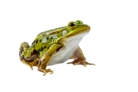 rana: Hermoso y fuerte rana piscina masculino (Pelophylax lessonae) aislado en fondo blanco