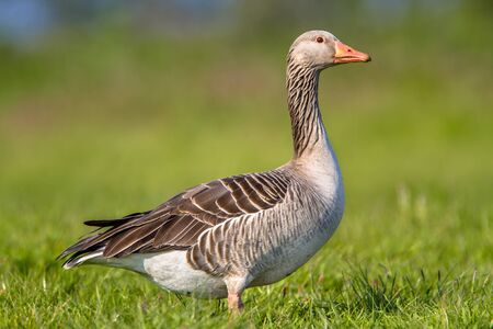 discussed: Numbers of greylag goose (Anser anser) have grown to problematic numbers in recent years in the Netherlands. Pest control options are being discussed. Stock Photo