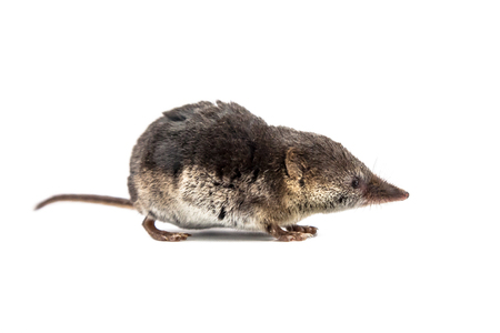 descend: Shrews belong to the most primitive animals on planet earth. All mammals descend from these early insectivores Stock Photo