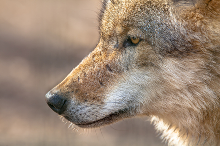 gregarious: The face of a Eurasian Gray Wolf (Canis lupus lupus). It is the most specialised member of the genus Canis, as demonstrated by its morphological adaptations to hunting large prey, its more gregarious nature, and its highly advanced expressive behavior. Archivio Fotografico