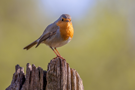 A red robin (Erithacus rubecula) on a wooden pole in a forest. This bird is a regular companion during gardening pursuits Banque d'images