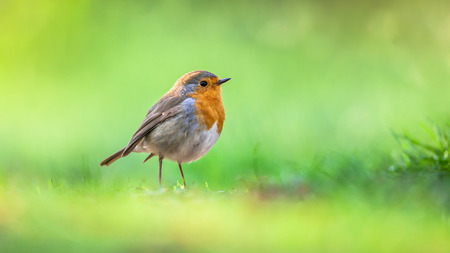 background summer: A red robin (Erithacus rubecula) foraging on the ground on vivid green background. This bird is a regular companion during gardening pursuits Stock Photo