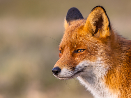 A full resolution portrait of a  red fox (Vulpes vulpes) looking towards the sun in natural environment. The beautiful wild animal of the wilderness. Shred looking in the camera. Eye to eye with a dodgy vulpine. One of the most grace wood inhabitants Stockfoto
