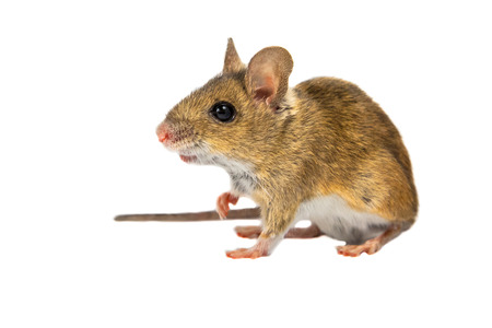 Wood mouse (Apodemus sylvaticus) with cute brown eyes looking in the camera on white background Archivio Fotografico