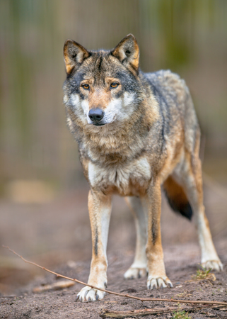 The Gray Wolf (Canis lupus lupus) is the most specialised member of the genus Canis, as demonstrated by its morphological adaptations to hunting large prey, its more gregarious nature, and its highly advanced expressive behavior.