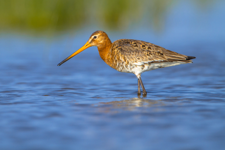 noord: Wading Female Black-tailed Godwit (Limosa limosa) one of the wader bird target species in dutch nature protection projects Stock Photo