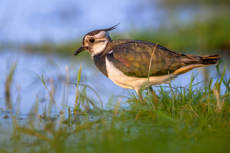 wading: Female Northern lapwing (Vanellus vanellus) side view while wading in shallow water in green and blue surroundings in the afternoon sun