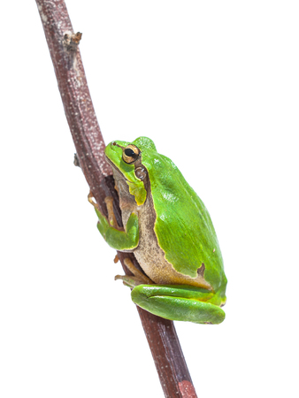 hyla: Green European Tree Frog (Hyla arborea) climbing in a stick, isolated on white background