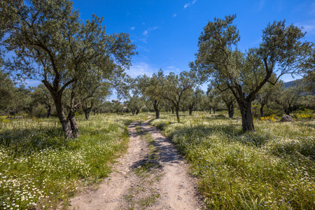 israel agriculture: Old olive grove with white wildflower undergrowth and stone track on a sunny day with blue sky in spring