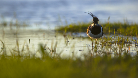 noord: Artistic nature image of a male Northern lapwing (Vanellus vanellus) in de wind in the early morning sun