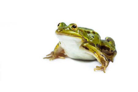lessonae: Beautiful and strong Pool frog male (Pelophylax lessonae) isolated on white background Stock Photo