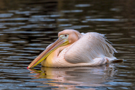 great white pelican: Great white pelican (Pelecanus onocrotalus). A social and cooperative bird, the great white pelican fishes in the early morning, spending the remainder of the day preening and bathing.