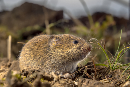 Common Vole (Microtus arvalis) in an open rural field its Natural Habitat Stock Photo