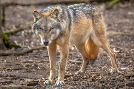 Big bad Eurasian Gray Wolf (Canis lupus lupus) is the most specialised member of the genus Canis, as demonstrated by its morphological adaptations to hunting large prey, its more gregarious nature, and its highly advanced expressive behavior.