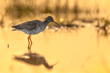 wading: Common Redshank (Tringa totanus) wading in shallow water in the early morning sun with orange glow during sunrise