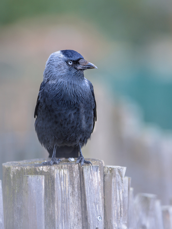 coloeus: Western Jackdaw (Corvus monedula) looking bold in the camera. Generally wary of people in the forest or countryside, western jackdaws are much tamer in urban areas.