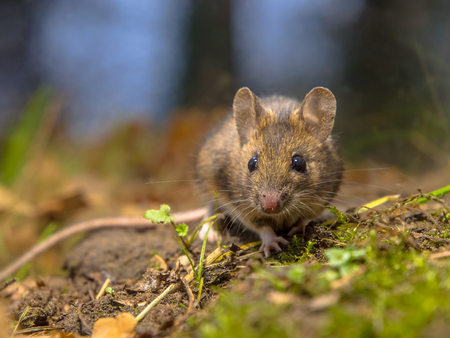 background summer: Wild wood mouse (Apodemus sylvaticus) resting on the forest floor of a dense wood. This cute and shy animal is a happy natural creature.