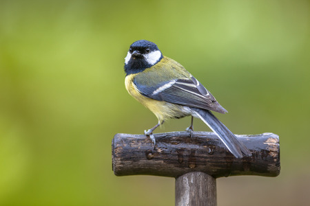 companion: Great tit (parus major) perched on the handle of a shovel. This bird is a regular companion during gardening pursuits