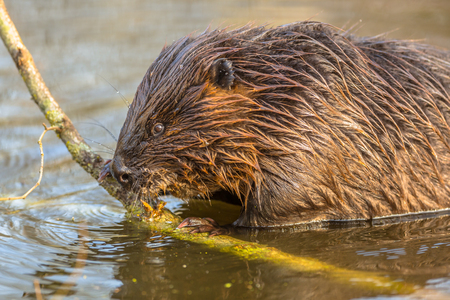 fulfil: Eurasian beaver (Castor fiber) one of the largest rodents in the world. It is well adapted to fulfil its role as a vital engineer of swamp habitats Stock Photo