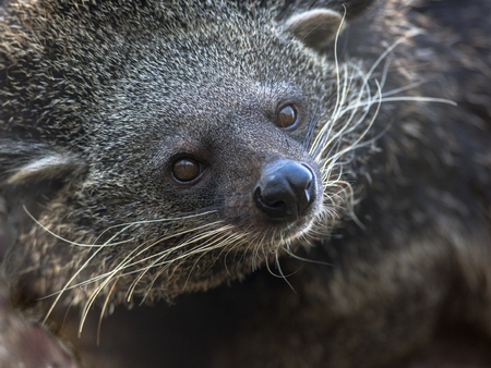 widespread: Portrait of a Binturong or bearcat (Arctictis binturong). The dark binturong is widespread in south and southeast Asia occurring in Bangladesh, Bhutan, Myanmar, China india and indonesia