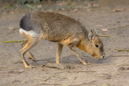 patagonian: Patagonian mara (Dolichotis patagonum) is a large sort of rabbit-like rodent found in open and semi-open habitats in Argentina, including large parts of Patagonia. Stock Photo