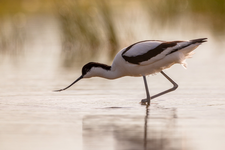 avocet: pied avocet (Recurvirostra avosetta) wading in water in early orange light and looking for food during sunrise