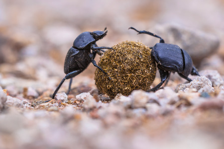 Two dung beetles making an  effort to roll a ball through gravel
