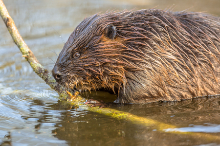 habitats: Eurasian beaver (Castor fiber) is one of the largest rodents. It is well adapted to fulfil its role as a vital engineer of wetland habitats