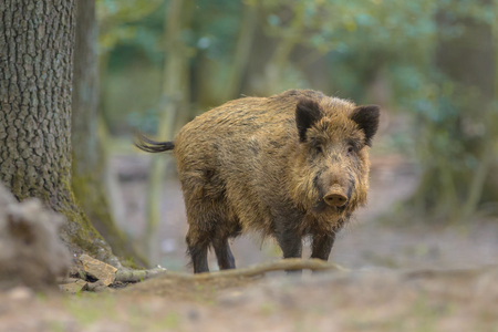Wild Boar (Sus scrofa) looking in the camera from natural forest surroundings Standard-Bild