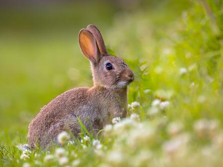 animales del bosque: Conejo salvaje europeo (Oryctolagus cuniculus) en un precioso entorno de vegetación verde con flores blancas Foto de archivo