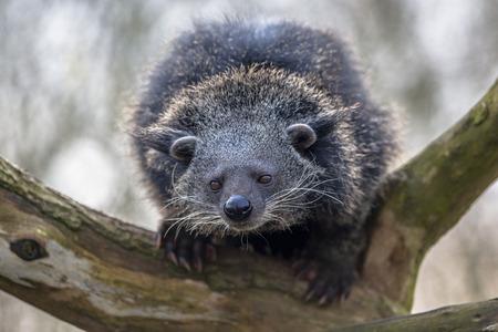 bearcat: Binturong or bearcat (Arctictis binturong). The binturong is widespread in south and southeast Asia occurring in Bangladesh, Bhutan, Myanmar, China india and indonesia Stock Photo