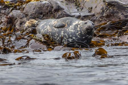 alga marina: Bien alimentados foca gris del Atlántico (Halichoerus grypus) descansando sobre las rocas en el campo de algas y mirando en la cámara en las islas de Farne, Inglaterra
